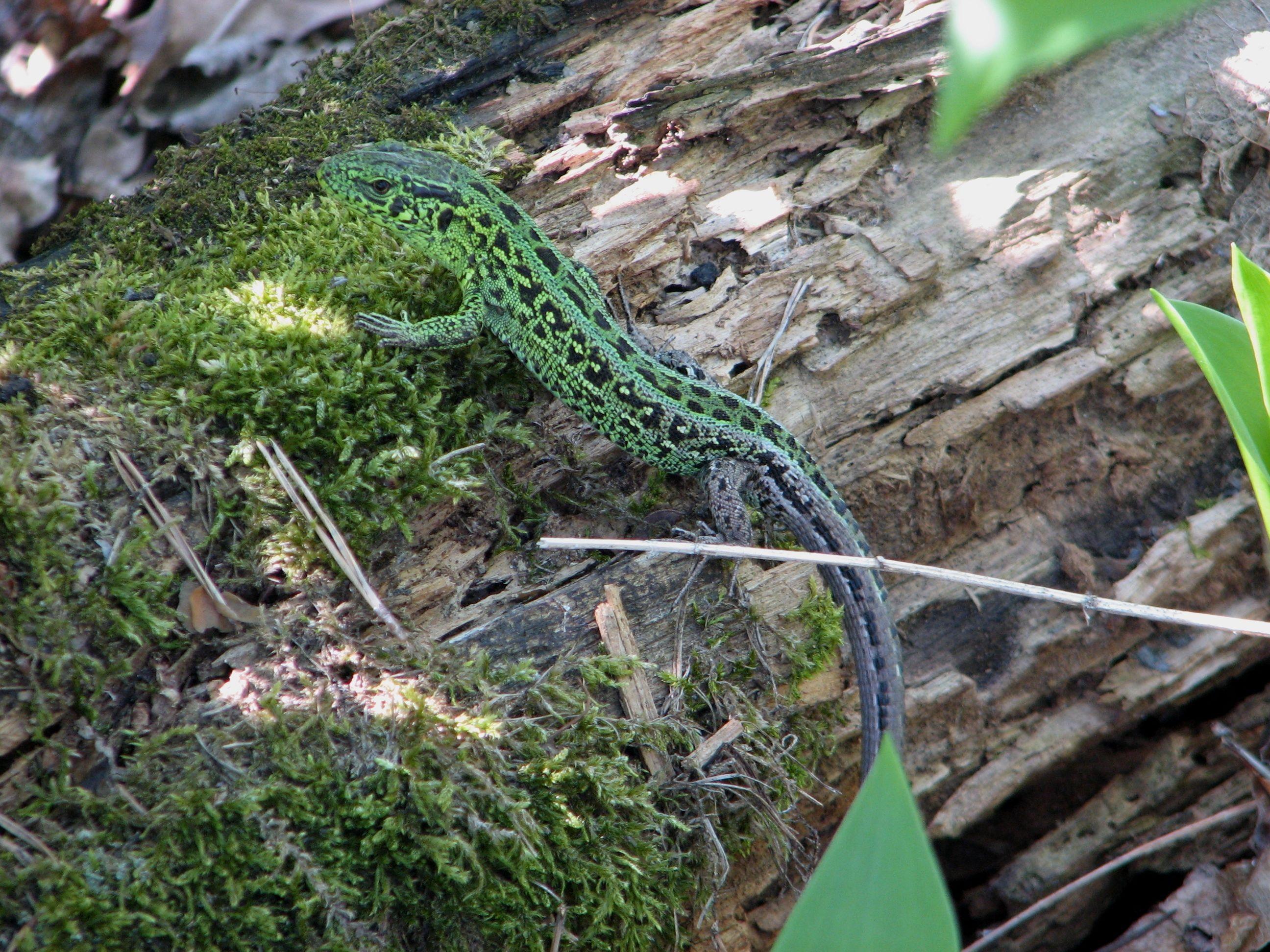 Ящірка в лісі біля ДВРЗ