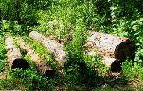Робота: в лісі на ДВРЗ заготовляють соснову кору?