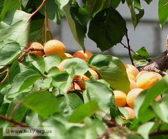 Царский абрикос