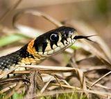 Из жизни животных: уж охотится на лягушку в лесу ДВРЗ