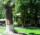 Пробковое дерево на улице Богомольца
