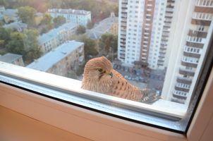 Лесной гость в городской квартире