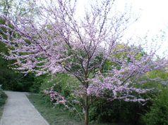Церцис канадский, растёт в ботаническом саду им. Фомина