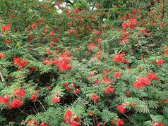 Каллиандра красноголовая и калифорнийская