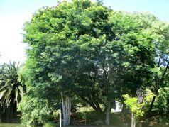 Цезальпиния железная (леопардовое дерево)