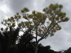 Шизолобиум (дерево-башня)