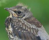 О спасении выпавших из гнезда птенцов