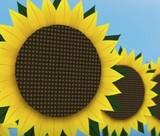 Почему подсолнухи следуют за солнцем?