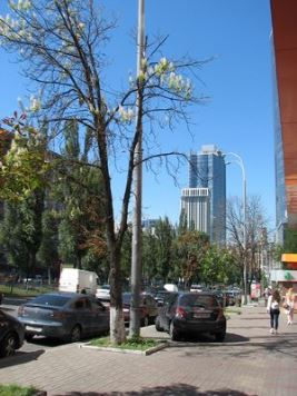 Киевские улицы: клёны вместо каштанов?