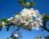 Мамина вишня в саду