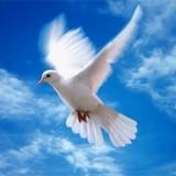 Міські птахи: голуб