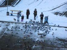 Стоит ли кормить диких уток?  Русановский канал в Киеве