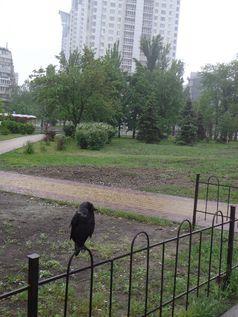 Березняки. Приручена галка чекає хазяїна у дощову погоду на автобусній зупинці 118 маршруту на Березняках