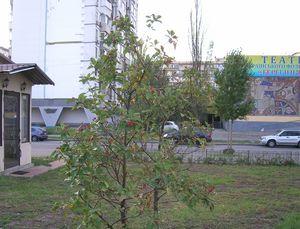 Горобина Нікіфорова у сквері Миколайчука