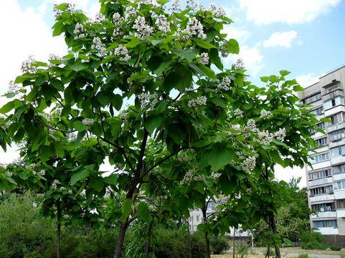 У Дніпровському районі Києва запрошують бажаючих посадити дерева