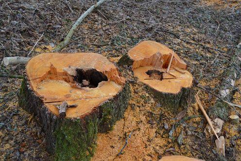 Санітарна вирубка дерев