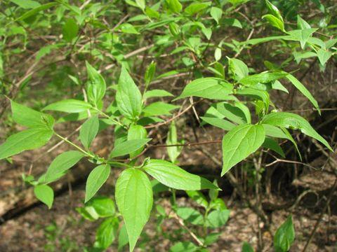 Садовий жасмин звичайний