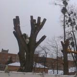 У Києві заборонено кронування дерев