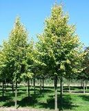 На ДВРЗ висадили 50 дерев липи