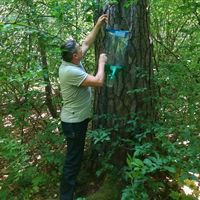 Феромонні пастки для комах у київських лісах