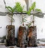 У жовтні ДендроКиїв роздаватиме садивний матеріал