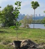 У парку на Дніпровській набережній висадили 10 дерев церсису канадського