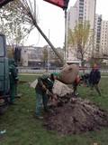 На зелених зонах Дніпровського району висадили вчора 35 дерев