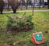 На Русанівці браконьєри зрізали особливе дерево