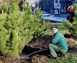 В Одессе к Рождеству высадили 400 сосен – их подарил меценат