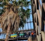 У київському ботсаду зацвіла 200-річна пальма