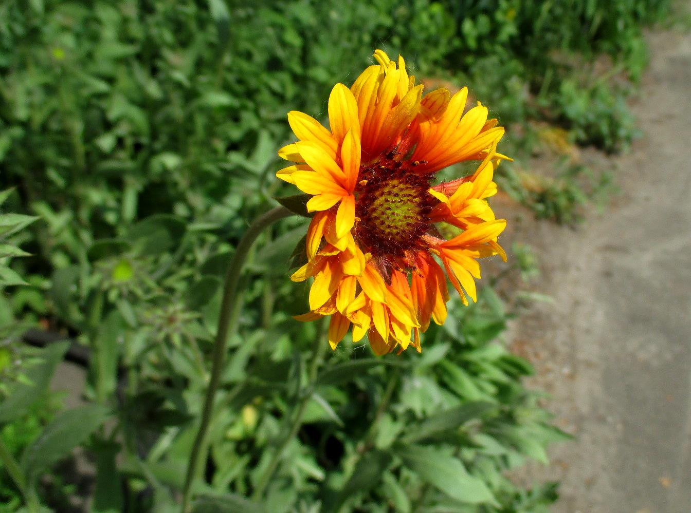 Цветок гайлардия фото и описание