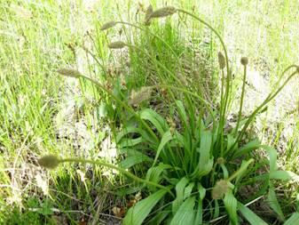 Подорожник ланцетный (Plantago lanceolata)