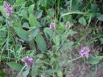 Чистец лекарственный (Stachys officinalis)