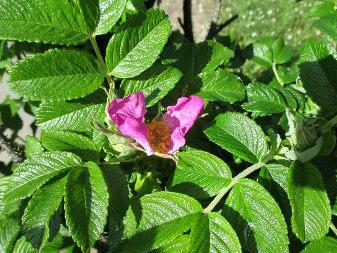 Beach Rose (Rosa rugosa)