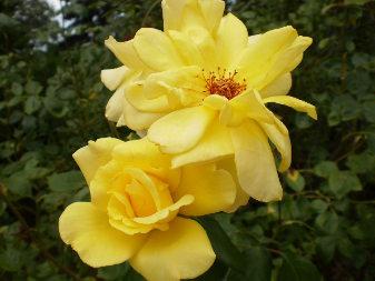 Hybrid Rose (Rosa)