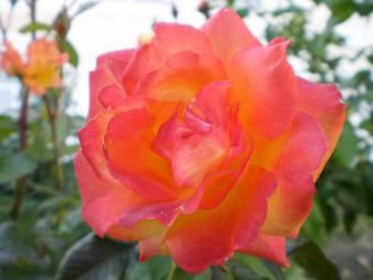 Роза гибридная (Rosa)