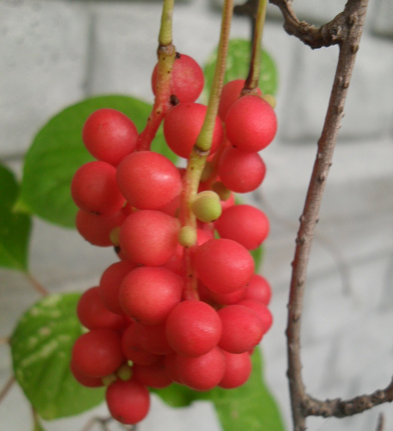 Schisandra chinensis лимонник китайский