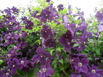 Jackman Leather Flower (Clematis jackmanii)