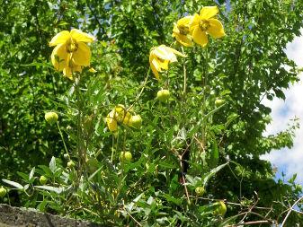 Golden Clematis (Clematis tangutica)