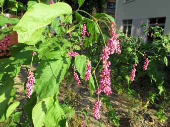 Prince's Feather (Persicaria orientalis)