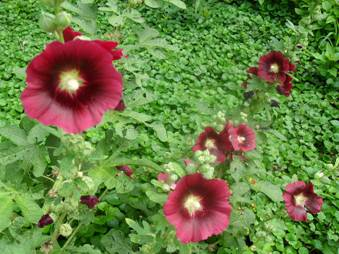 Рожа садова (Alcea rosea)