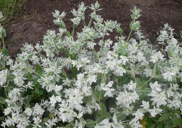 Variegated Spurge (Euphorbia marginata)