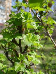Gooseberry (Grossularia)