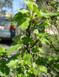Аґрус (Grossularia)