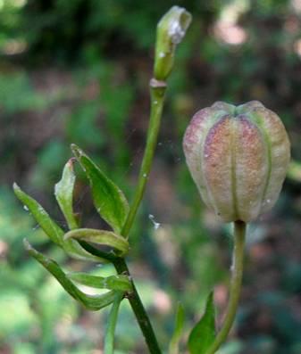 Лилия саранка (Lilium pilosiusculum)