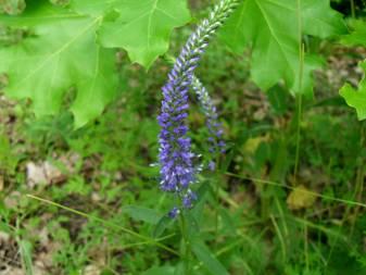 Вероника колосистая (Veronica spicata)
