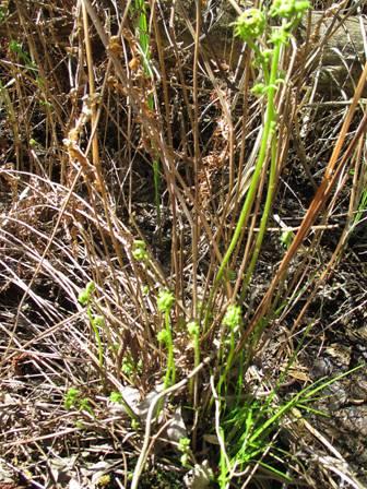 Телиптерис болотный (Thelypteris palustris)