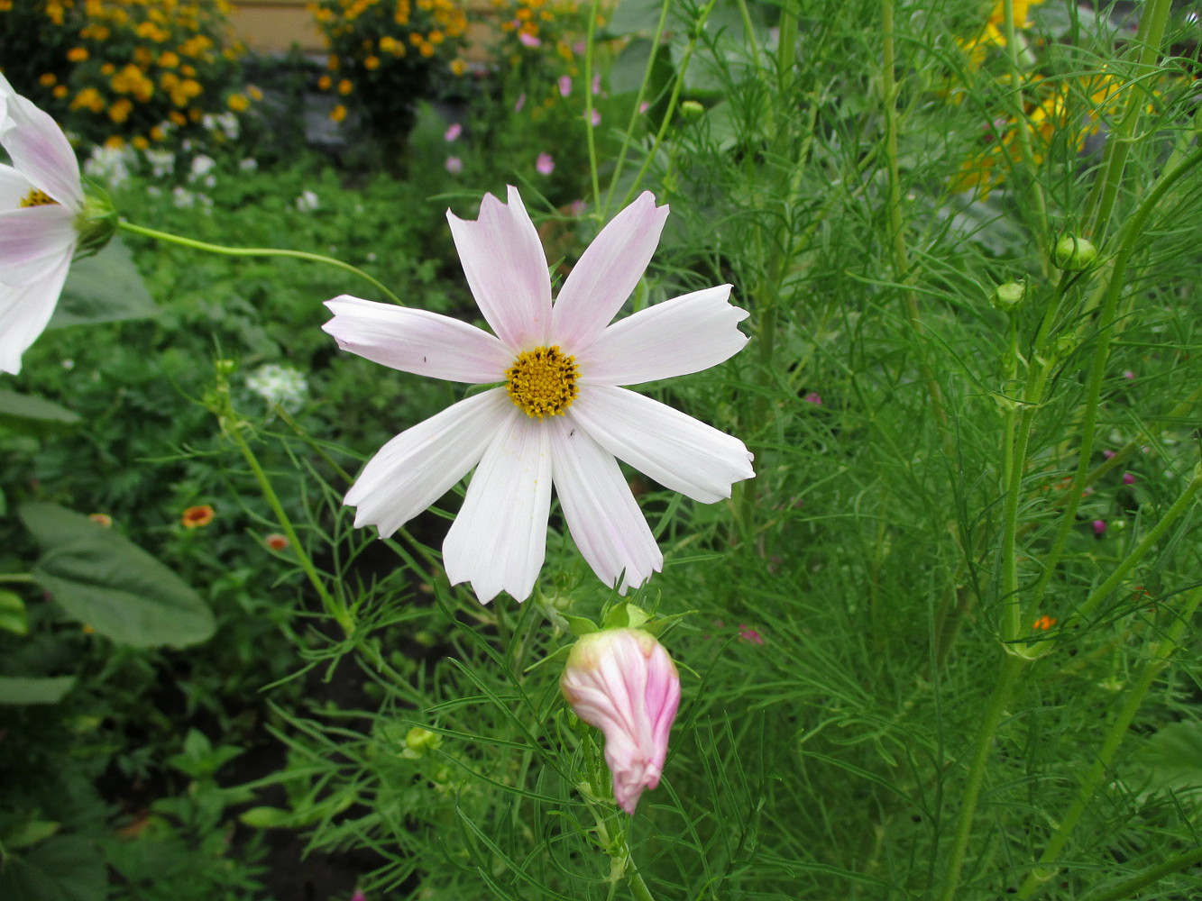Цветок космея махровая фото цветов