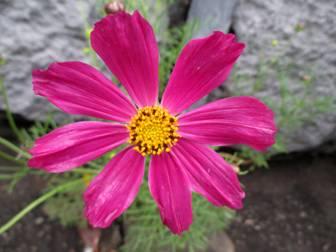 Космея дваждыперистая (Cosmos bipinnatus)