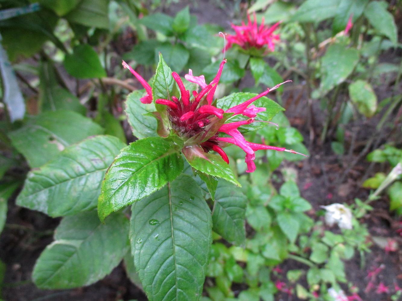 Садовый цветок монарда фото полезные свойства